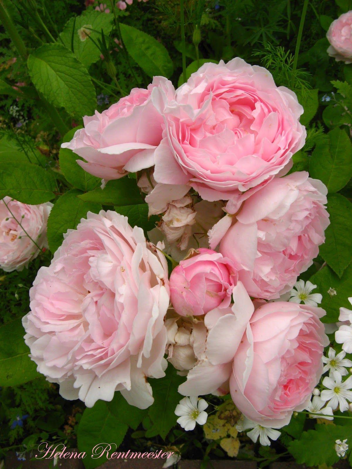 Pin By Syeda Nayab Zahra On Gorgeous Pink Roses Pinterest