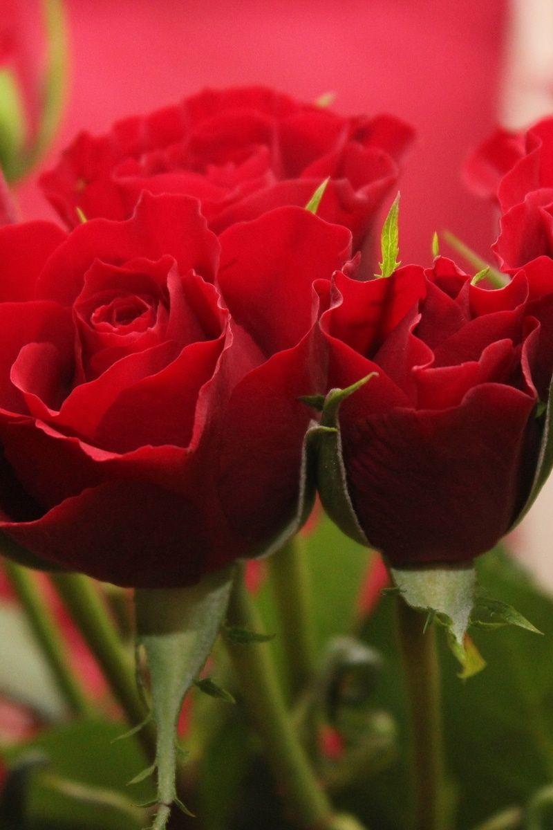 Free stock photo of red love flowers roses photos pinterest beautiful flowers izmirmasajfo