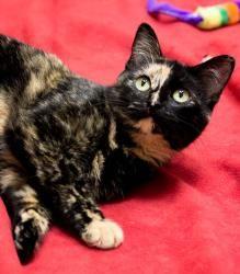 Adopt Tortellini On Petfinder Tortoise Shell Cat Kitty Feline