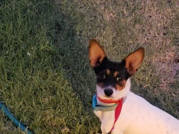 Jack Russell Terrier And Rat Terrier Mixed Dog For Adoption In Lubbock Texas Theodore In Lubbock Texa Rat Terrier Mix Terrier Mix Dogs Jack Russell Terrier