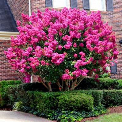 Pink velour crape myrtle at brighter blooms nursery gardening knock your socks off pink blooms on a smaller tree months of bright hot pink flowers that glow against striking purple tinted foliage mightylinksfo