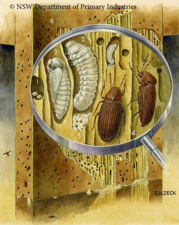 Insectos xilofagos