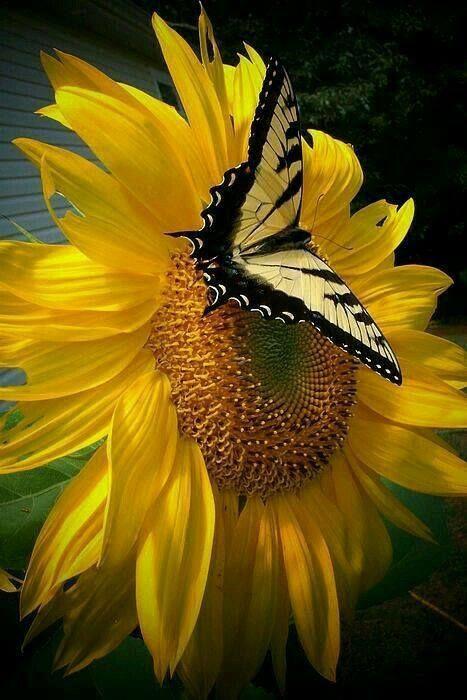 jaune soleil...