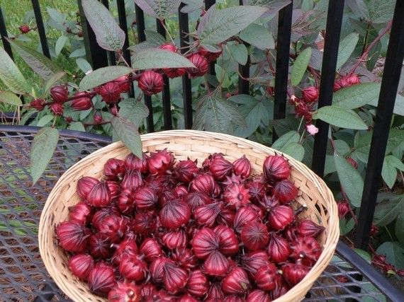 Hibiscus Sabdariffa Seeds 2 95 Time For Tea Been Looking For