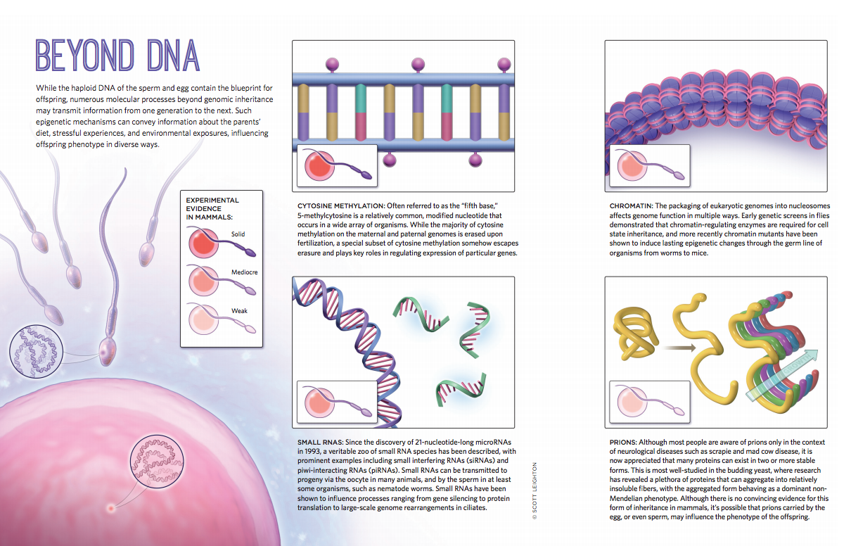 Beyond dna while the haploid dna of the sperm and egg contain the beyond dna while the haploid dna of the sperm and egg contain the blueprint for malvernweather Image collections
