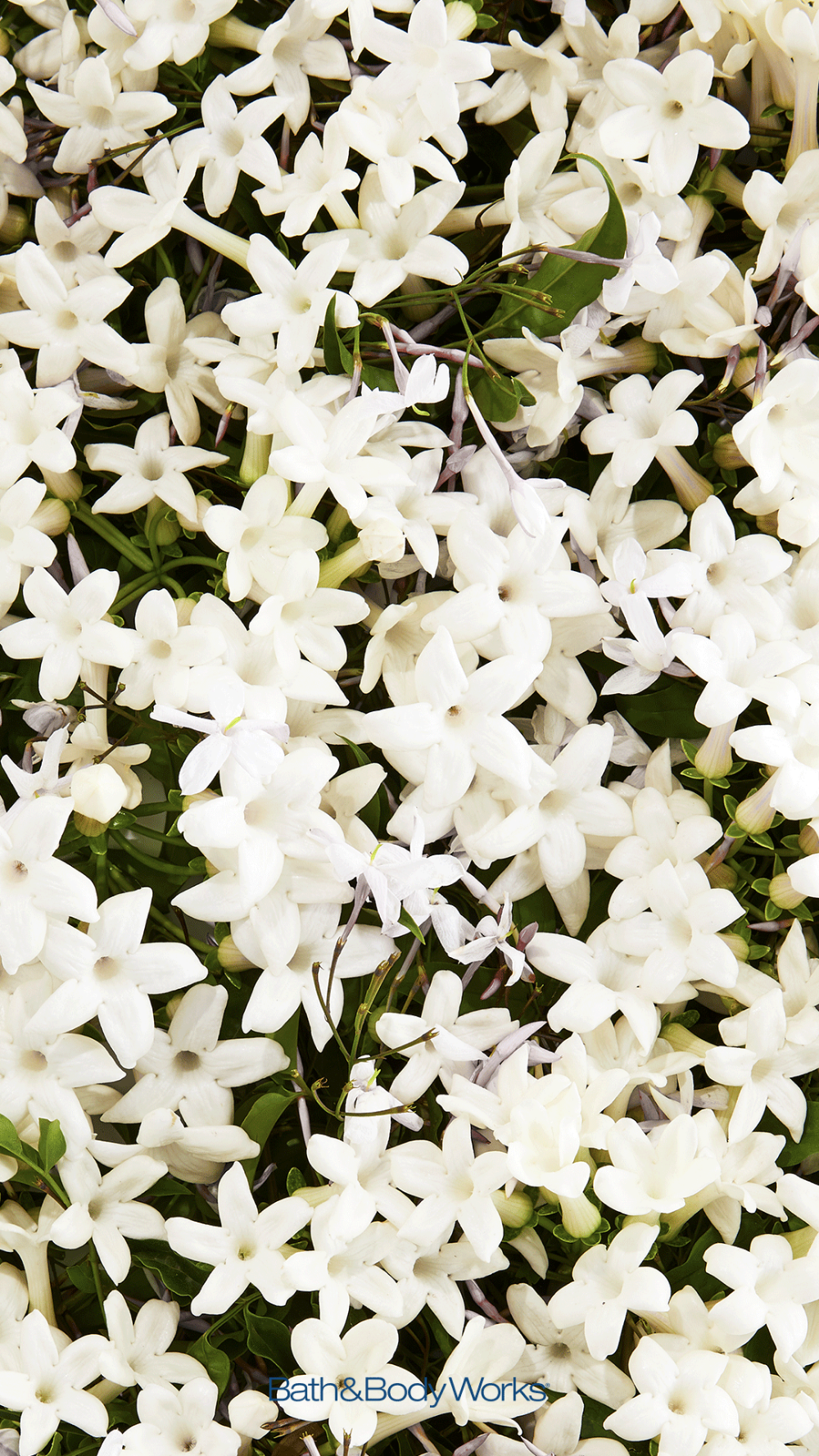 Jasmine Iphone Wallpaper Background Flower Backgrounds Flower