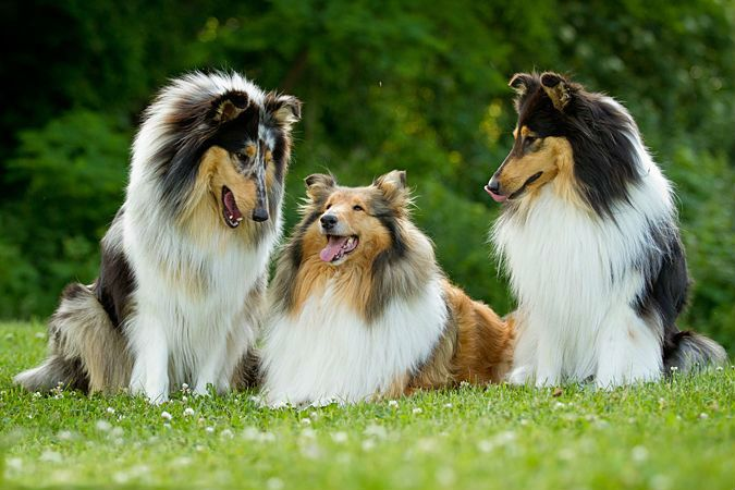 Pin By Margaret Veach On Shetland Sheepdog Collie Dog Collie
