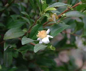 Camellia Sinensis Tea Heirloom Seeds Edible Landscaping Tropical Garden