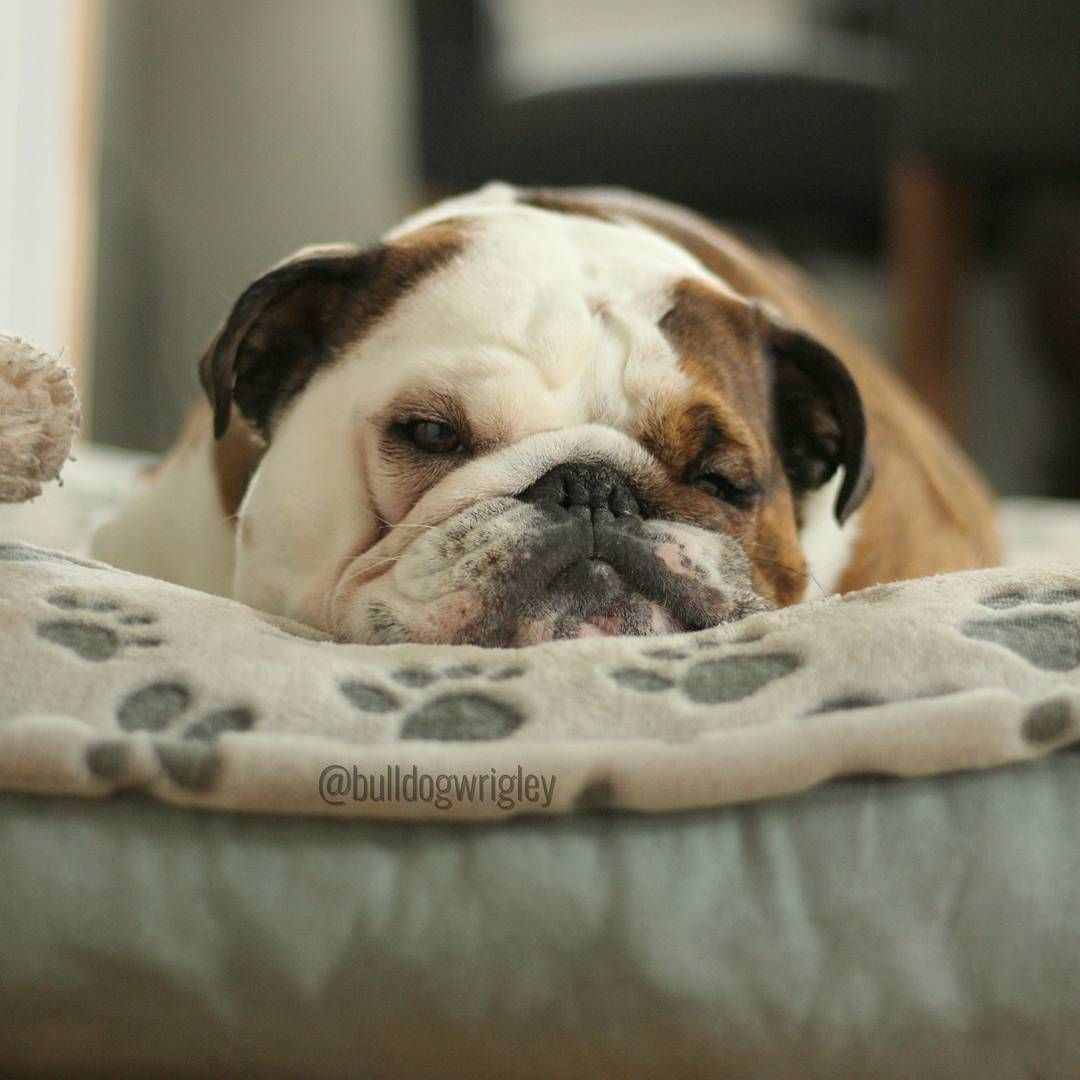 Sleepy English Bulldog Wrigleythebulldog Bulldogwrigley French
