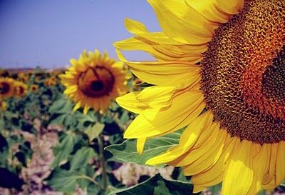 Sunflowers Plants Flower Shop Sunflower