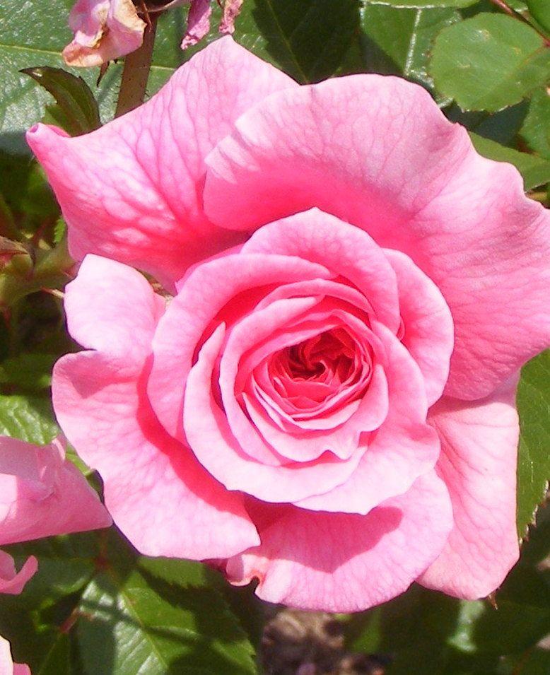 Gorgeous rose white flower farm litchfield ct flowerfreak gorgeous rose white flower farm litchfield ct mightylinksfo