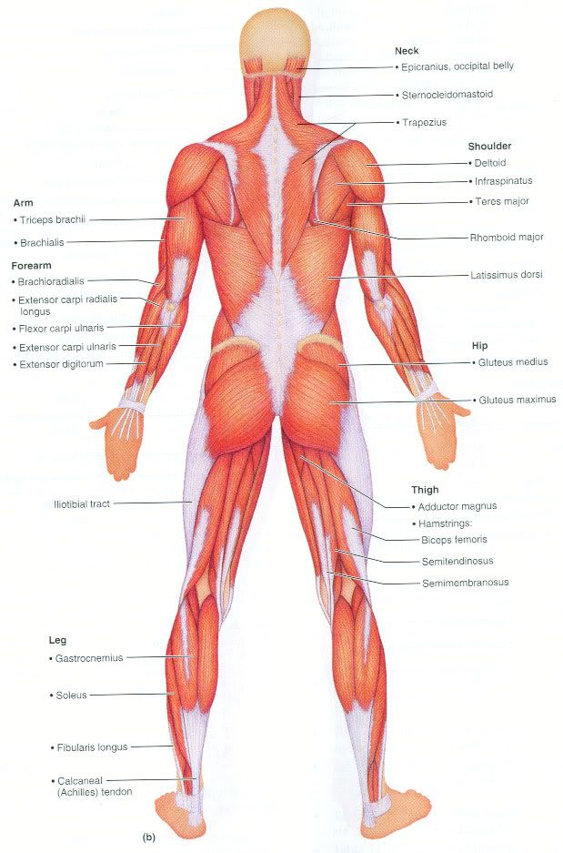superficial muscle diagram - Google Search | Anatomy | Pinterest