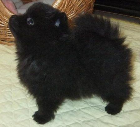 Black Pom Olivia Black Pomeranian Puppies Pomeranian Puppy For Sale Pomeranian Puppy