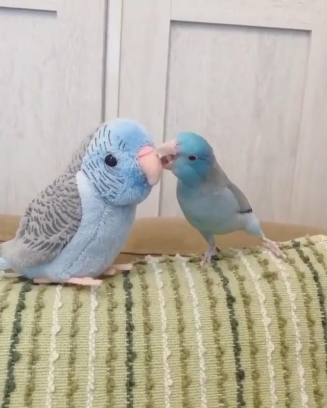 Baby parrot kissing the stuffed bird