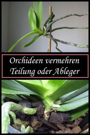 Photo of So vermehrt ihr eure Orchideen durch Teilung oder mit Ablegern/Kindeln!