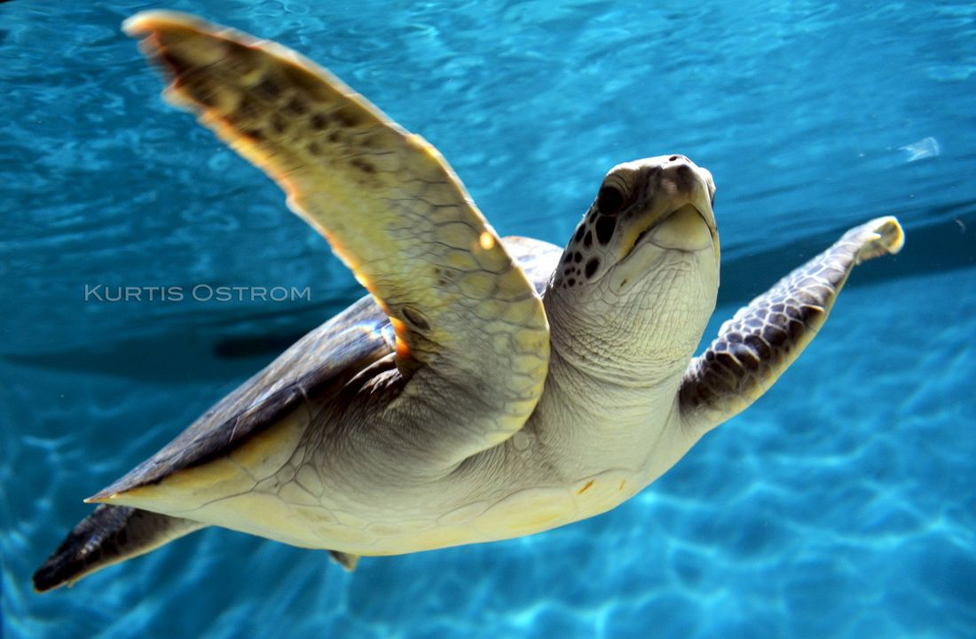 Sea Turtle - Monterey - KURTIS OSTROM PHOTOGRAPHY