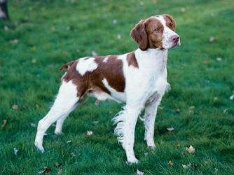 Brittany Spaniel Brittany Dog Spaniel Breeds Dog Breeds