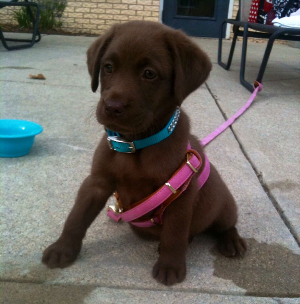 Daisy The Cutest Chocolate Lab Pup Lovely Chocolate Labrador Retriever Lab Puppies Labrador Retriever
