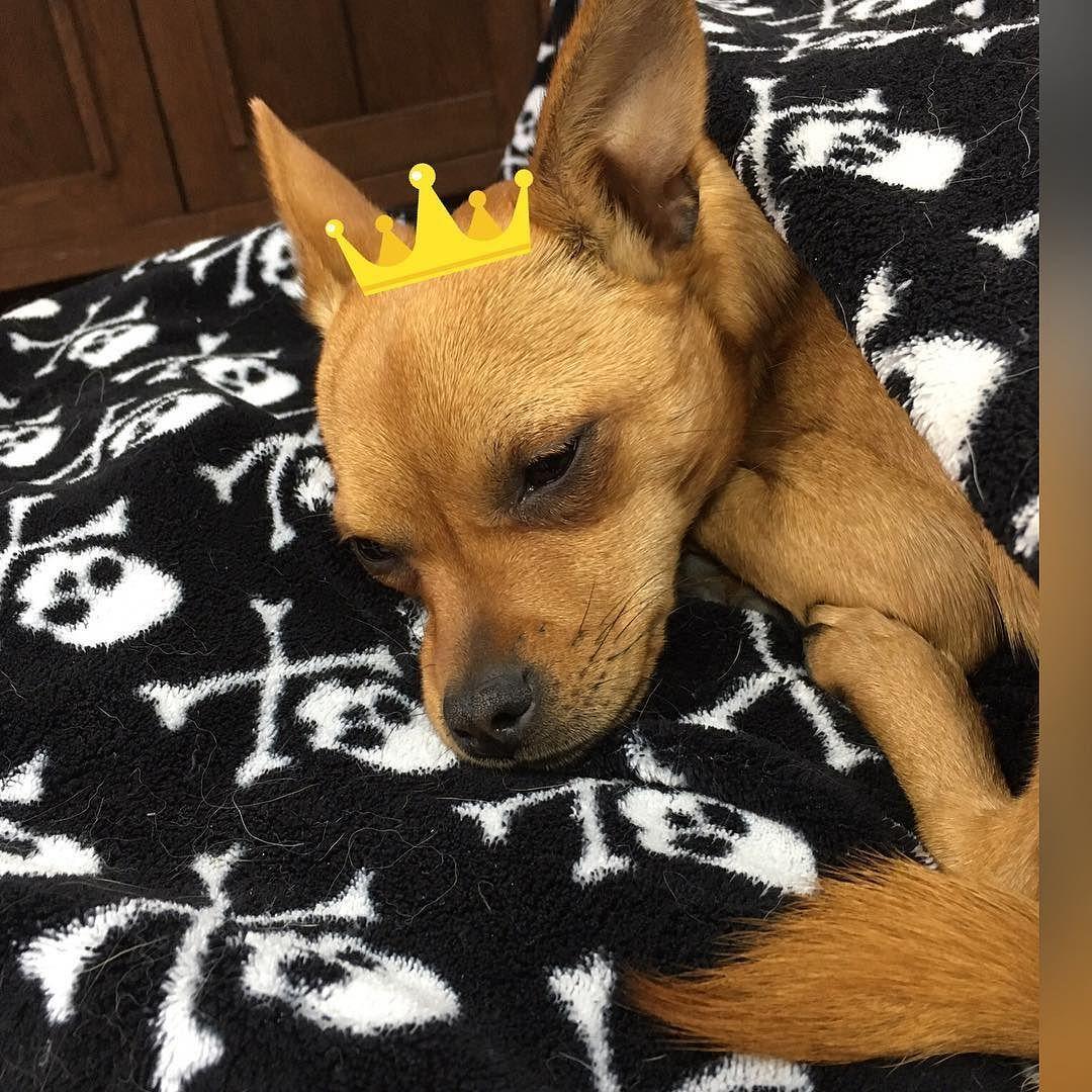 Poppy The Pirate Princess Chihuahua Chihuahuasofinstagram