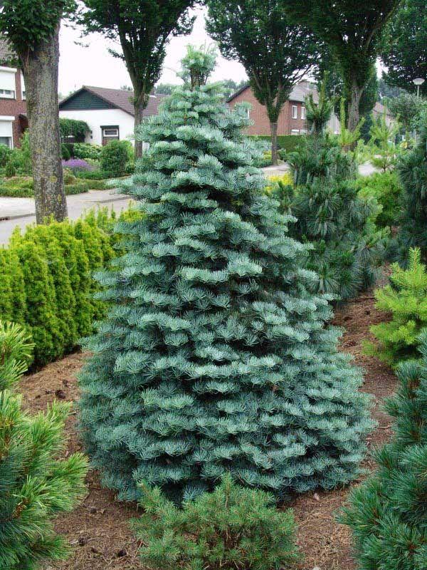 Abies Concolor Compacta хвойные Evergreen Shrubs Bonsai Tree