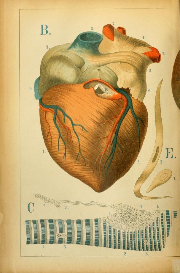 An atlas of anatomy : - Biodiversity Heritage Library   Vintage ...