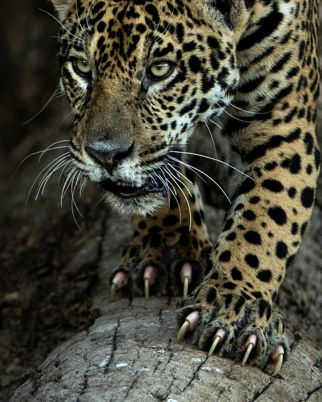 Nature Is Metal On Instagram Knives Out By Marlondutoit The King Of The Jungle Showing Off The Hardware Jaguar Are The 3rd Lar In 2021 Animals Big Cats Jaguar