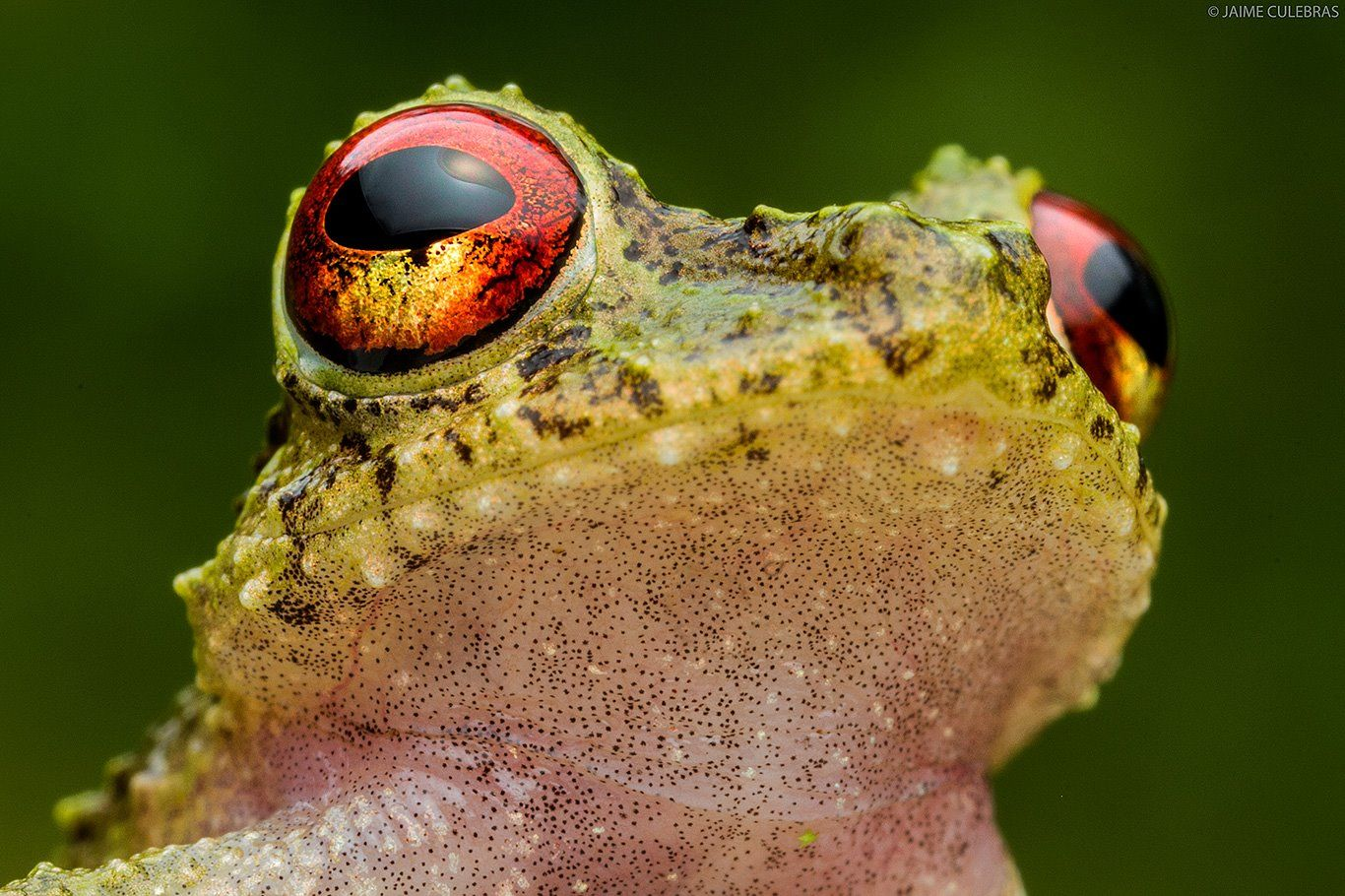 Rainfrog (Pristimantis crucifer, Cutín in Spanish) from Ecuador. ©Jaime Culebras