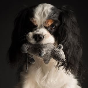 Cavalier Clooney,my lovely mouse catcher...  love you,