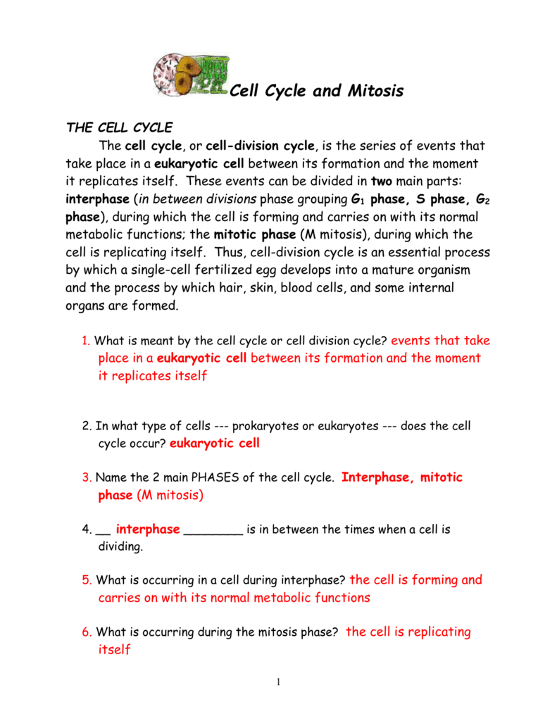 Cell Cycle Mitosis Worksheet in 2020 Cell cycle, Color
