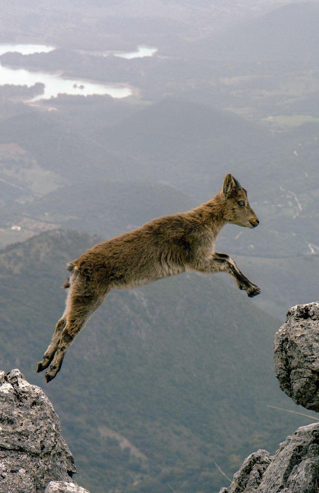 A picture of a mountain goat jumping | Animals, Animals beautiful ...