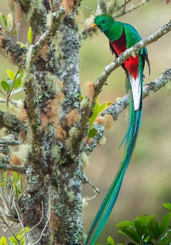 Long tail bird QUETZAL - 32 cm or 13 inches long found in ...