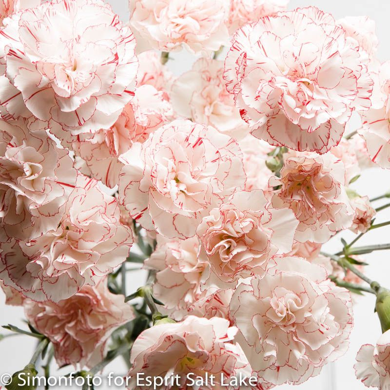 """Joropo"" light pink bi-color mini carnation. """