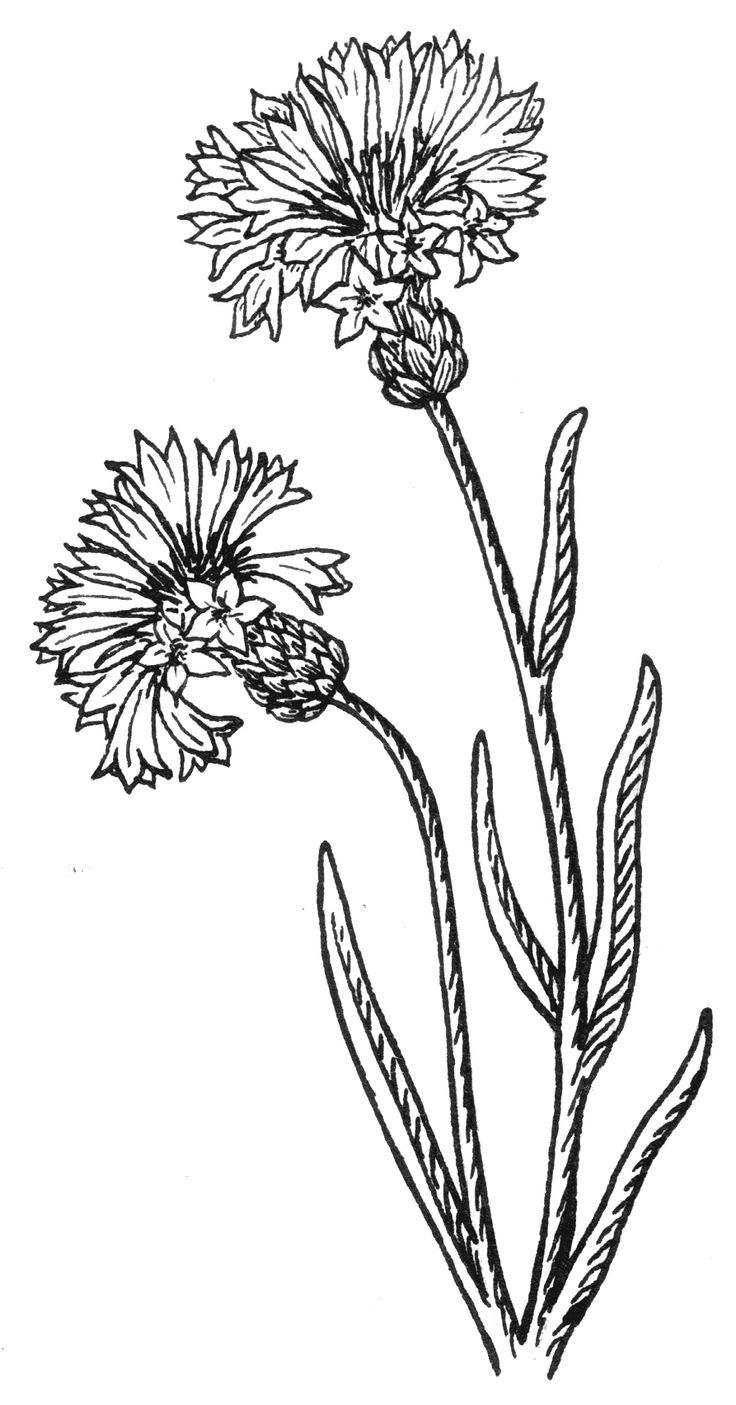 Wildflower Line Drawing : Tattoo ideas buttons drawing wildflower google