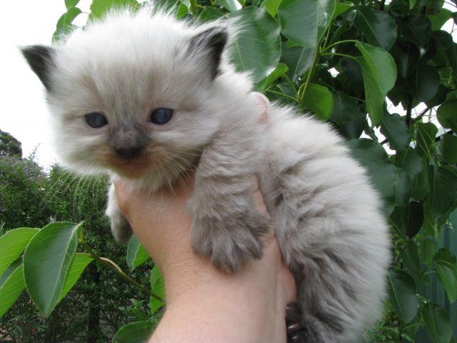<3 Ragdoll kittens.