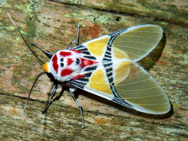 Tiger moth with clown face, Idalus herois, Arctiinae, via Flickr.