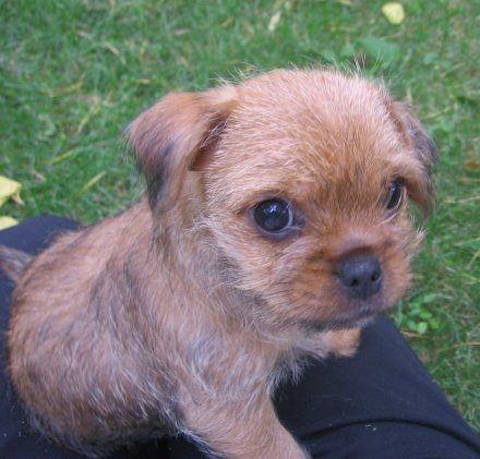 Pug And Yorkshire Terrier Pugshire Designer Dogs Breeds Pug