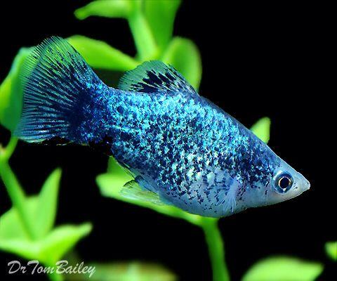 Blue Spotted Male Platy Platy Fish Aquarium Fish Tropical Fish