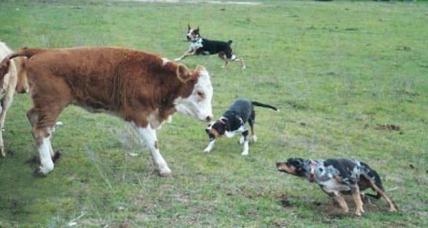 Training Catahoula Cow Dogs