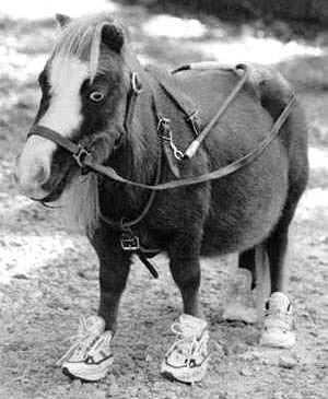 Did You Know Miniature Horses Can Be Used As Service Animals For
