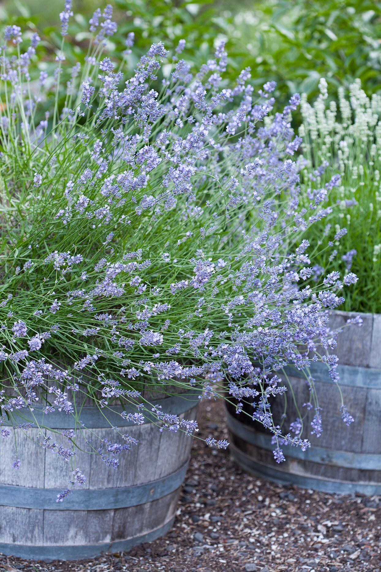 how to grow lavender from seed uk