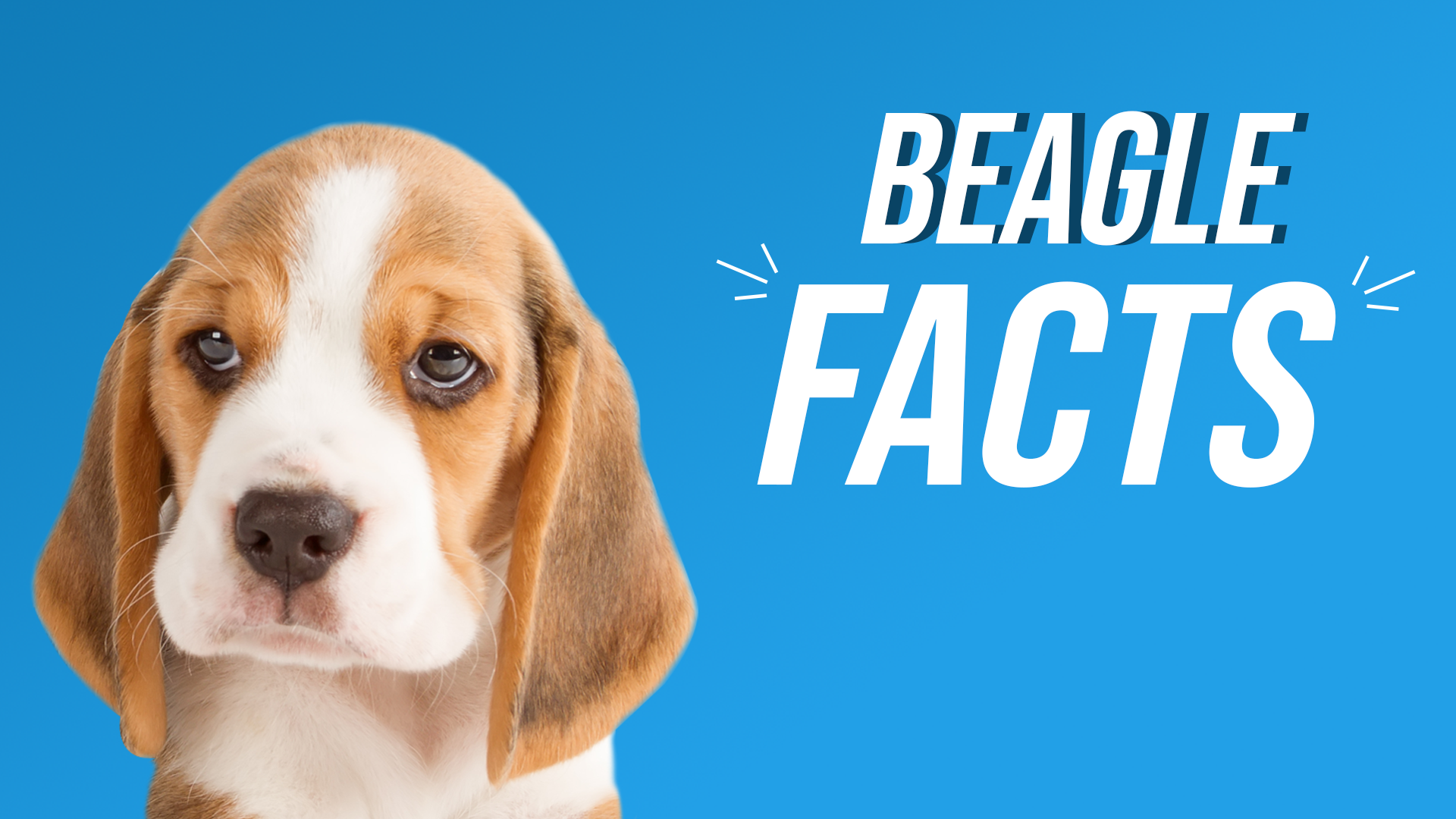 Hey! I'm a Beagle, and here are some cool facts about me! 🐶 🐾 #beagle #beagles #beaglegang #beaglepuppies #beaglemania #beagleworld #beaglemania #beagledaily