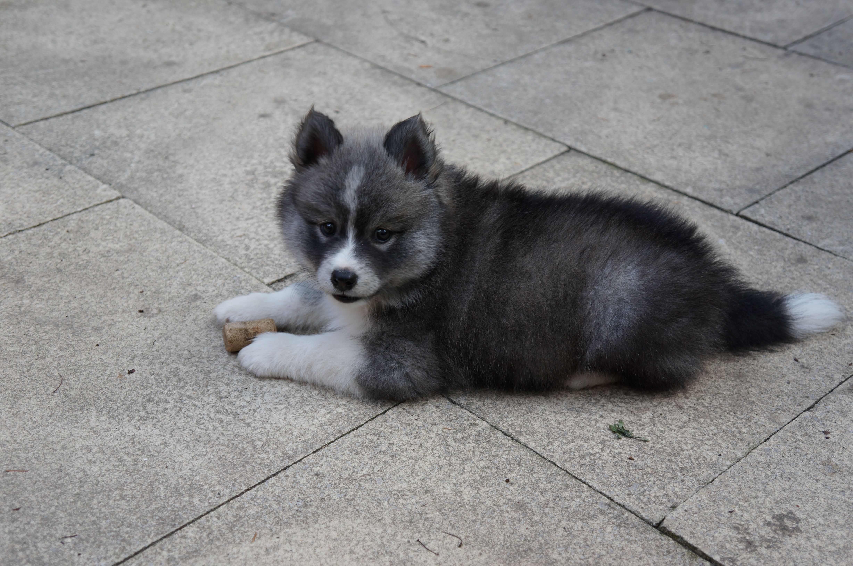 Oreo My 8 Week Old Pomsky Puppies Animals Pomsky