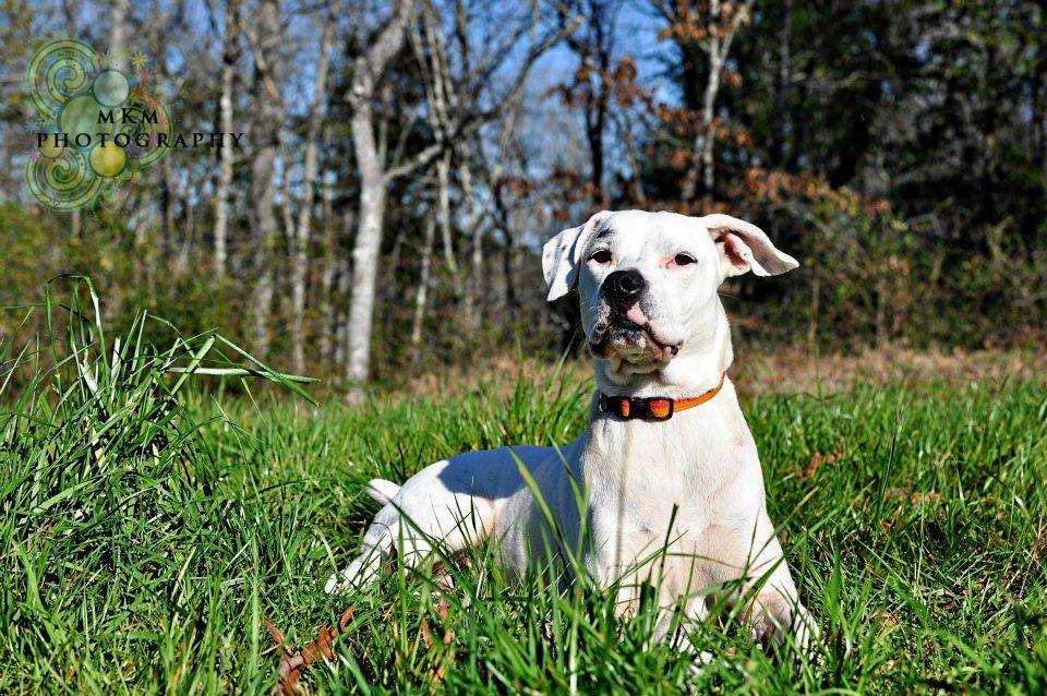 My precious American Bulldog, Lola Belle. American
