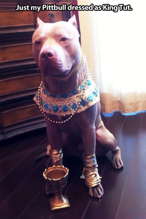 pitbull dog funny - Google Search