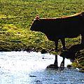 Vache a l'eau.