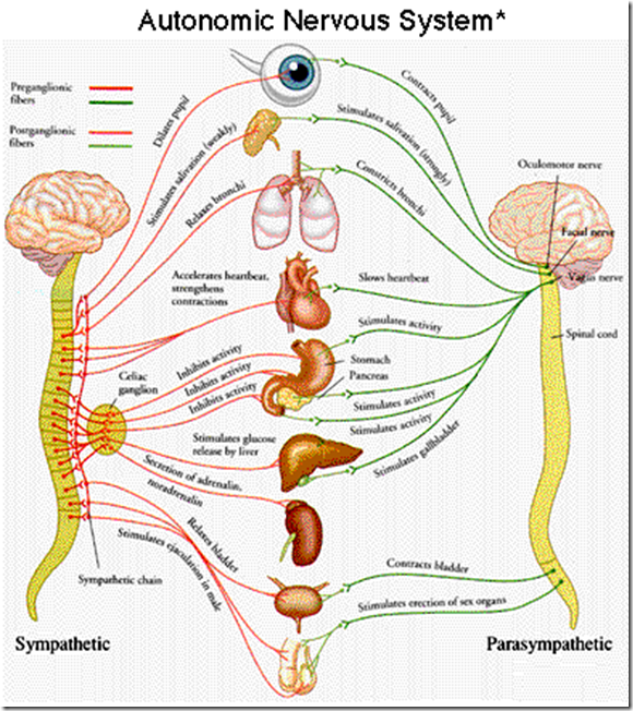 sympathetic nervous system - Google Search | Anatomy | Pinterest ...