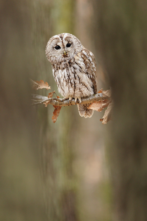 Landscape & Animals — wonderous-world:   The Tawny Owl by Jiří Míchal