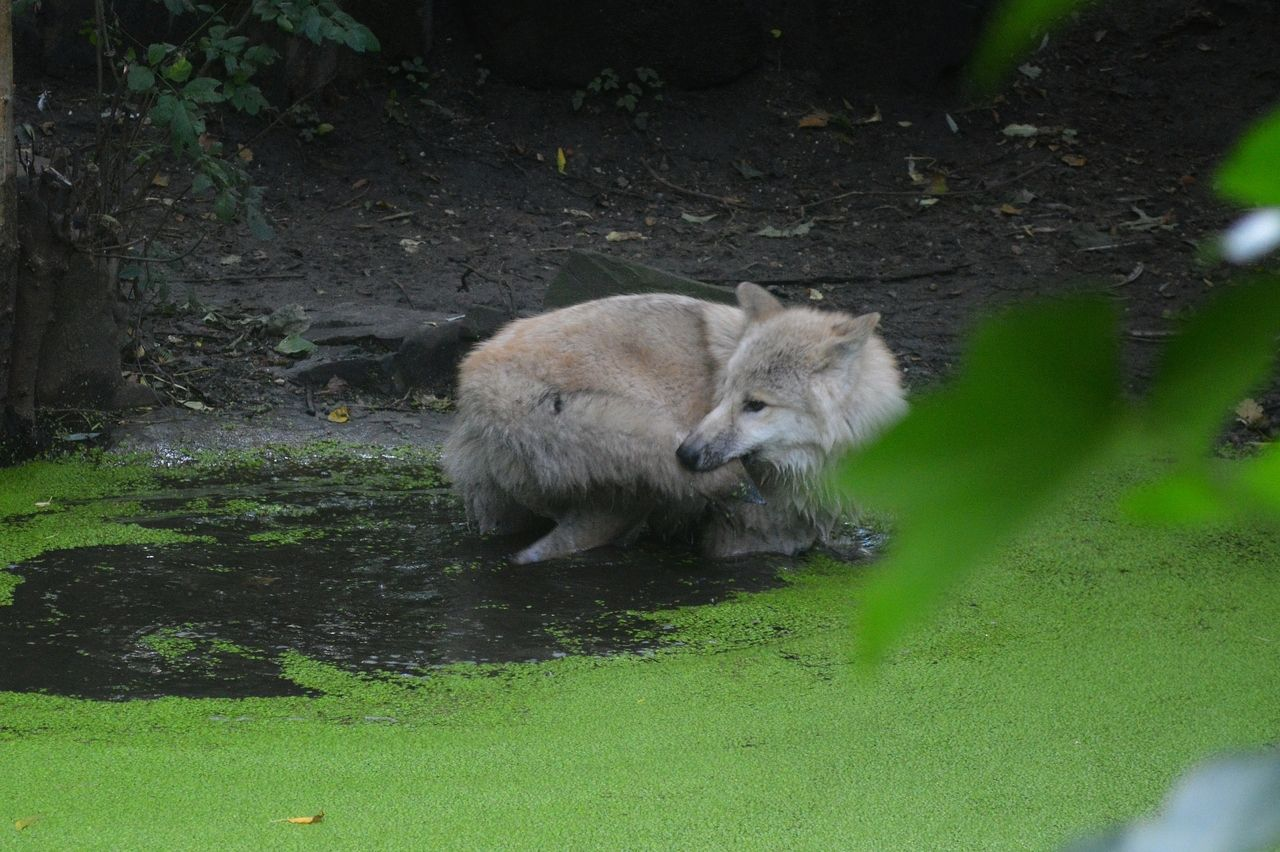 wolveswolves:  Hudson Bay wolf pup at Artis Zoo Amsterdam by wolveswolves This was so cute, he was in the water, chasing his own tail for about 5 minutes, turning and turning when he finally got...