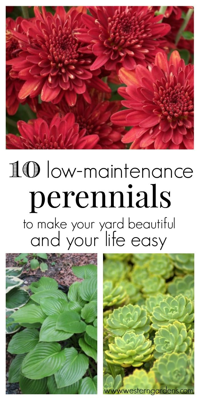 10 Low Maintenance Perennials Flowers Gardening Pinterest