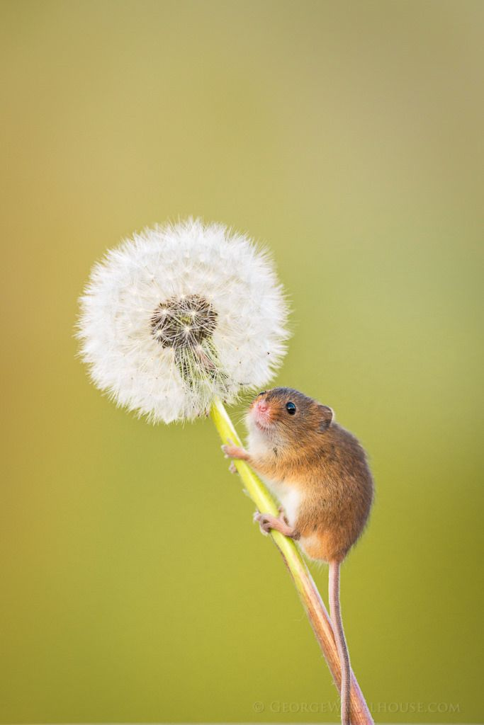 https://flic.kr/p/nK5TMm | Harvest Mouse & Dandelion by George| I don't often do 'cute', but this might be an exception.